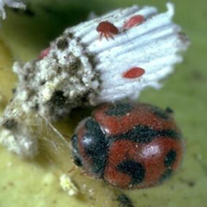 mites on bugs