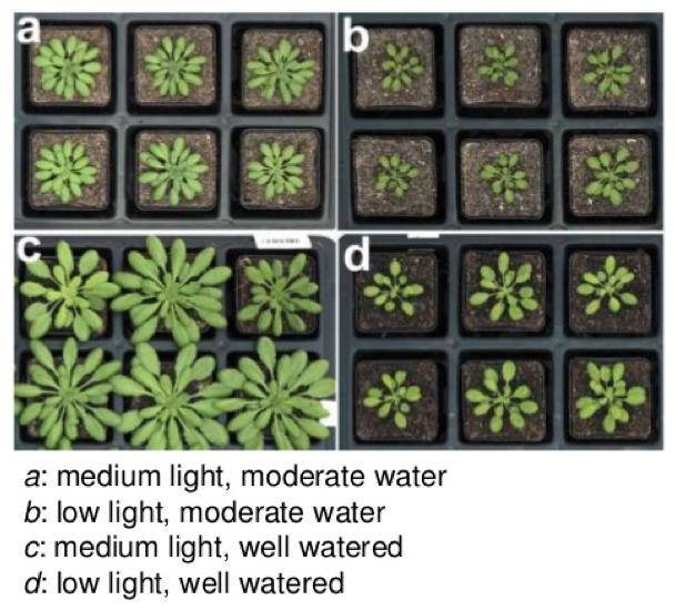 Four sets of six plants that have been given various amounts of water and light in an experiment