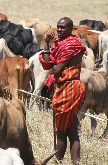 Ethiopian herding cows