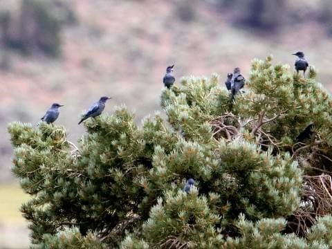 A flock of Pinyon Jays congregate on a pinyon pine tree.