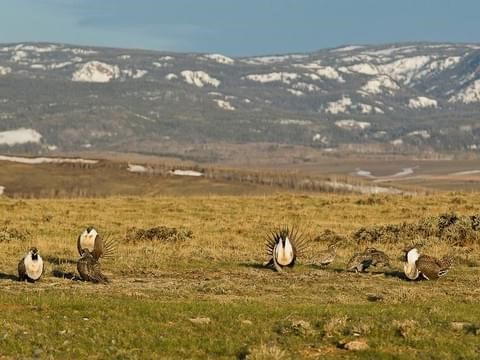 Greater Sage-grouse gather on a treeless hillside