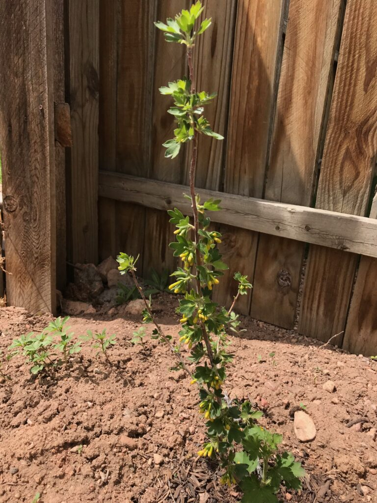 Clove currant planted in backyard of author.