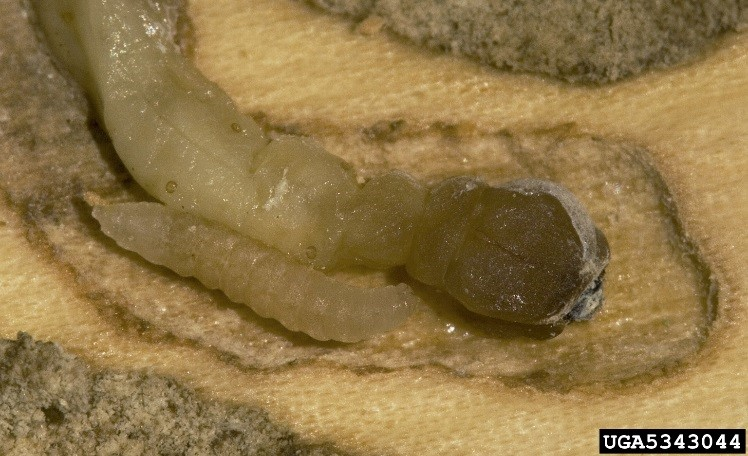 A smaller insect larva parasitizing a larger invasive species larva