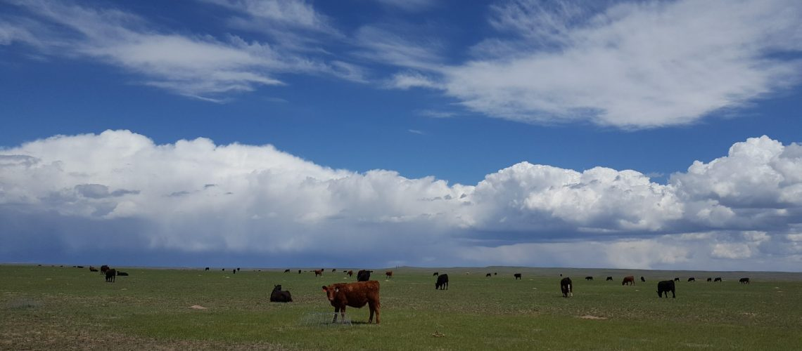 Cows and clouds at the Central Plains Experimental Range, a U.S. Department of Agriculture research site, in the grasslands of northeastern Colorado, USA. Photo credit – USDA Agricultural Research Service.
