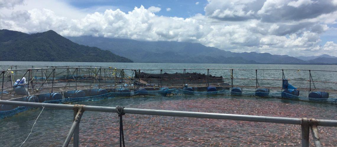 Fish swimming in aquaculture enclosure