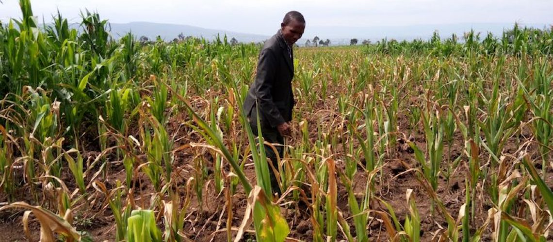 A farmer inspects a field of maize drying from droughts